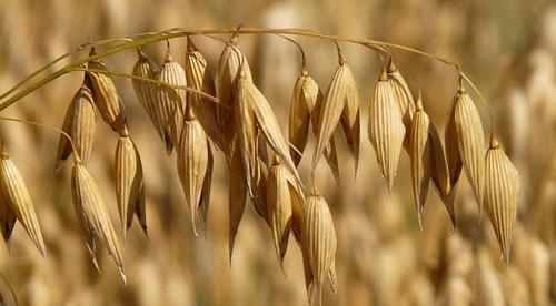Hafer, Getreide
