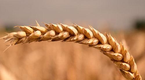 Weizen, Weizenmehl